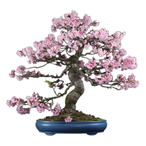 Maintenance, an example, a chinese sweet plum cherry blossom bonsai pruning tree, meticulously maintained.